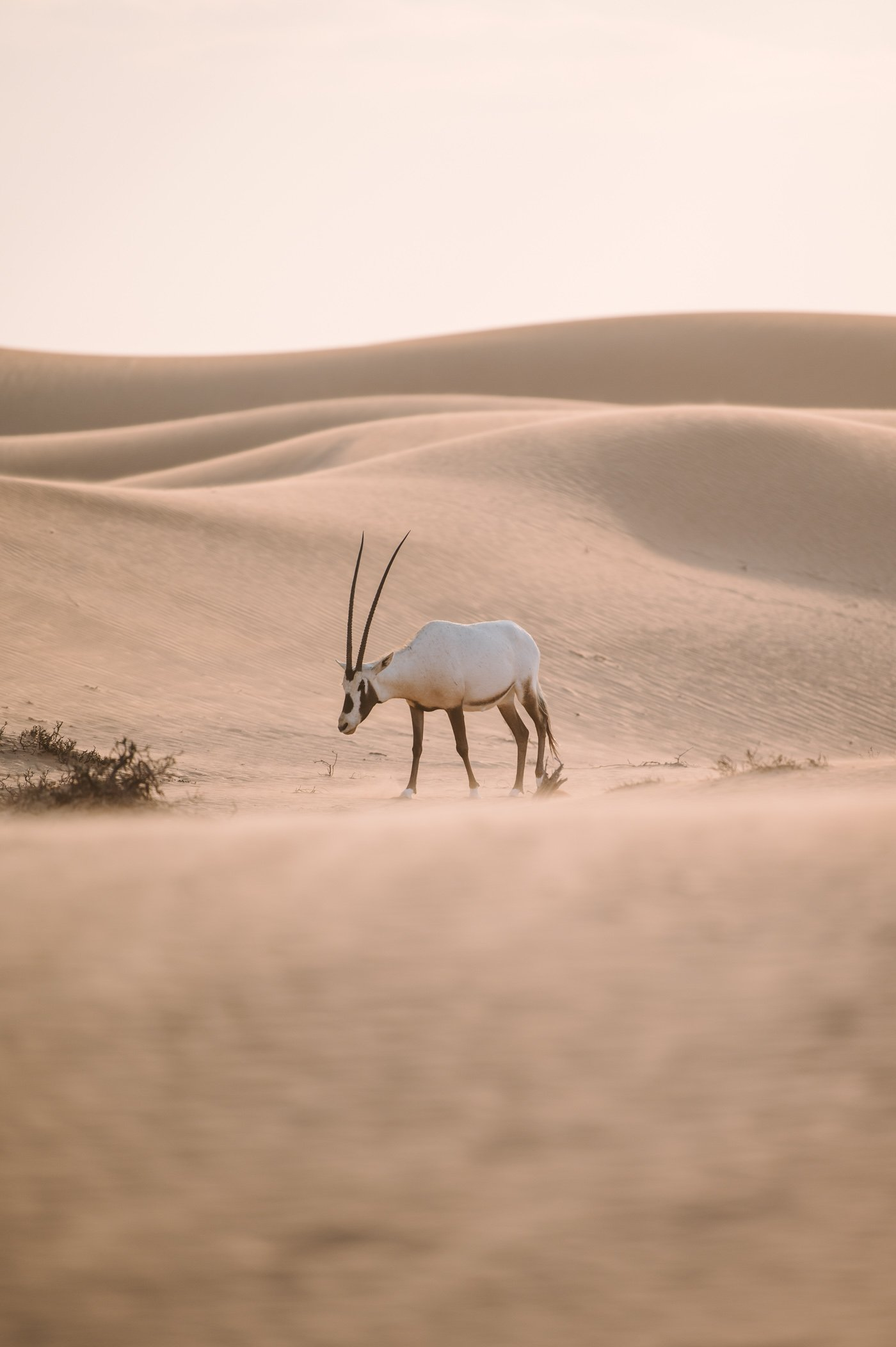 Arabian Oryx in the desert of Dubai