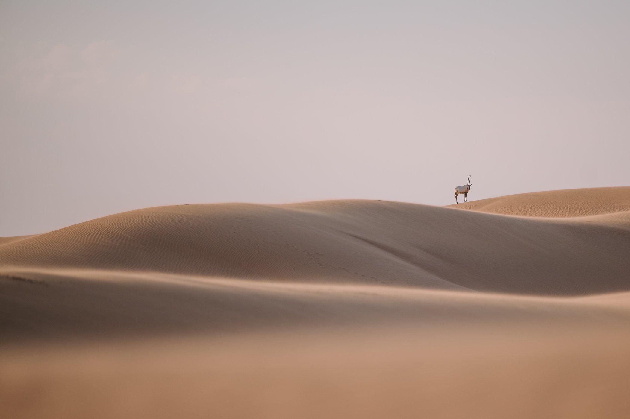 Oryx in the Dubai desert conservation reserve