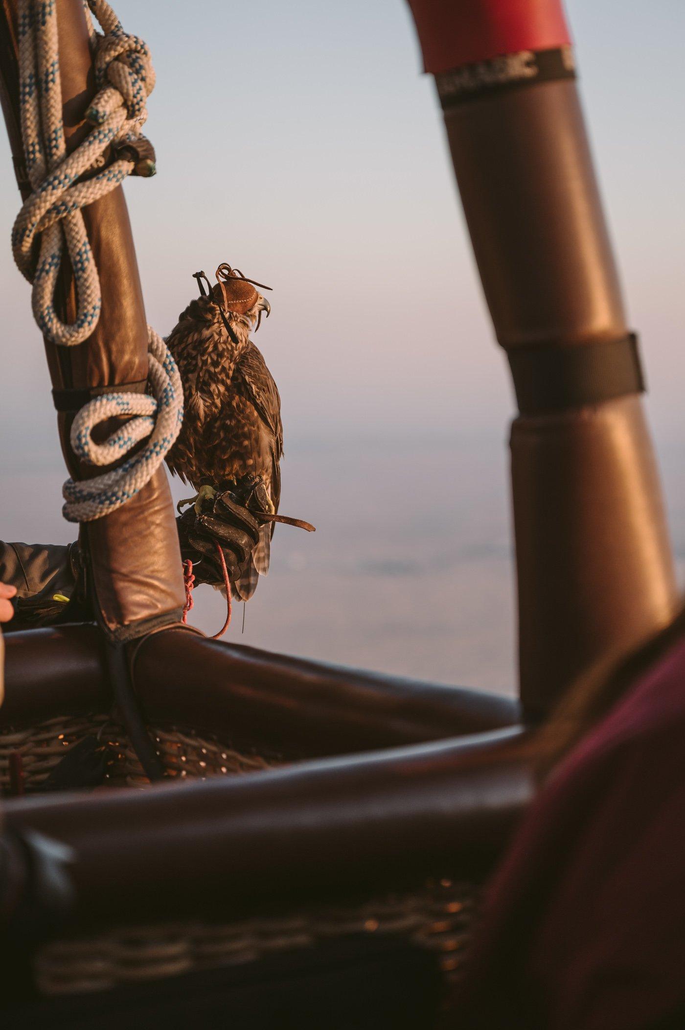 Falcon in the hot air balloon in Dubai