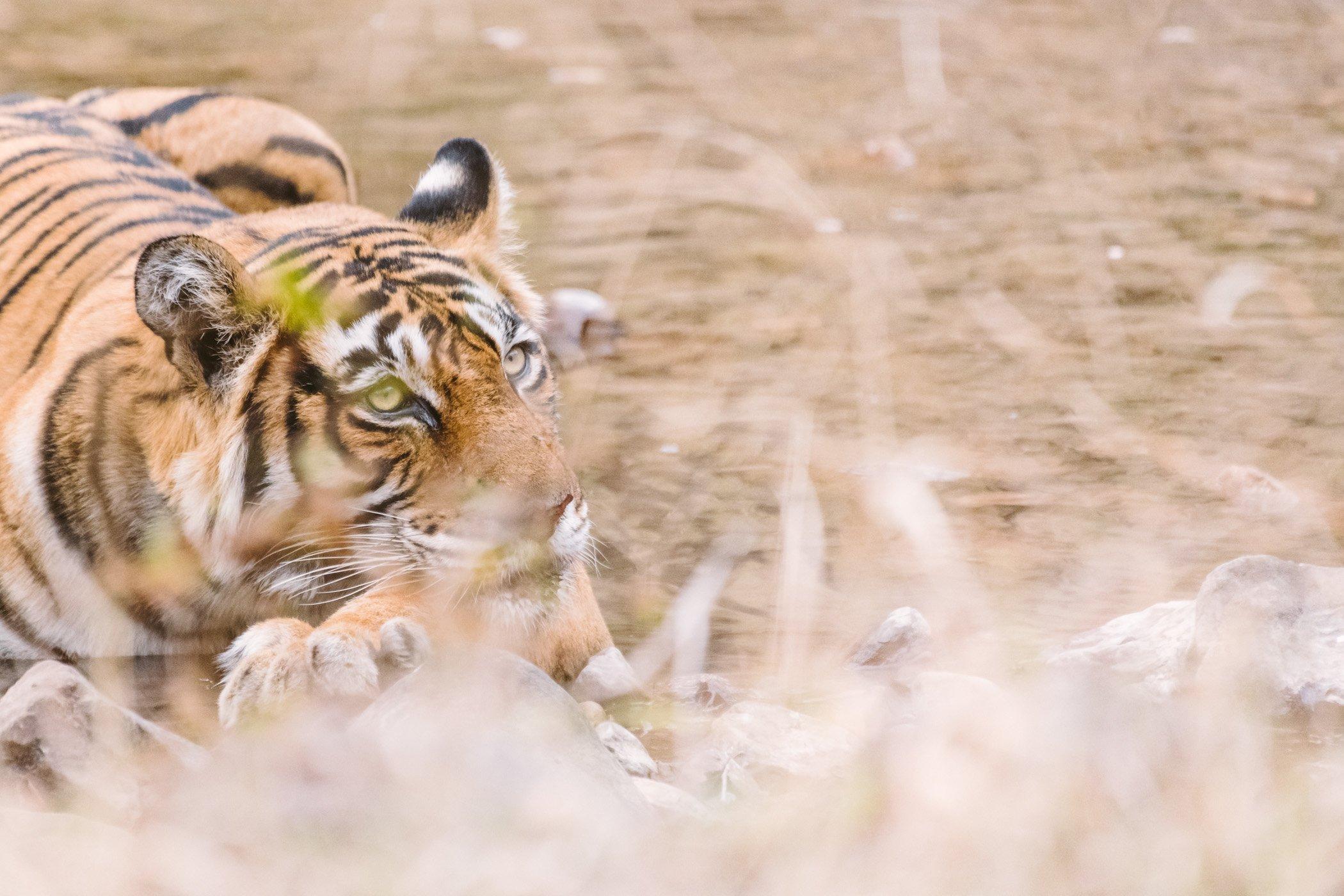 Tiger Safari in Rajasthan India