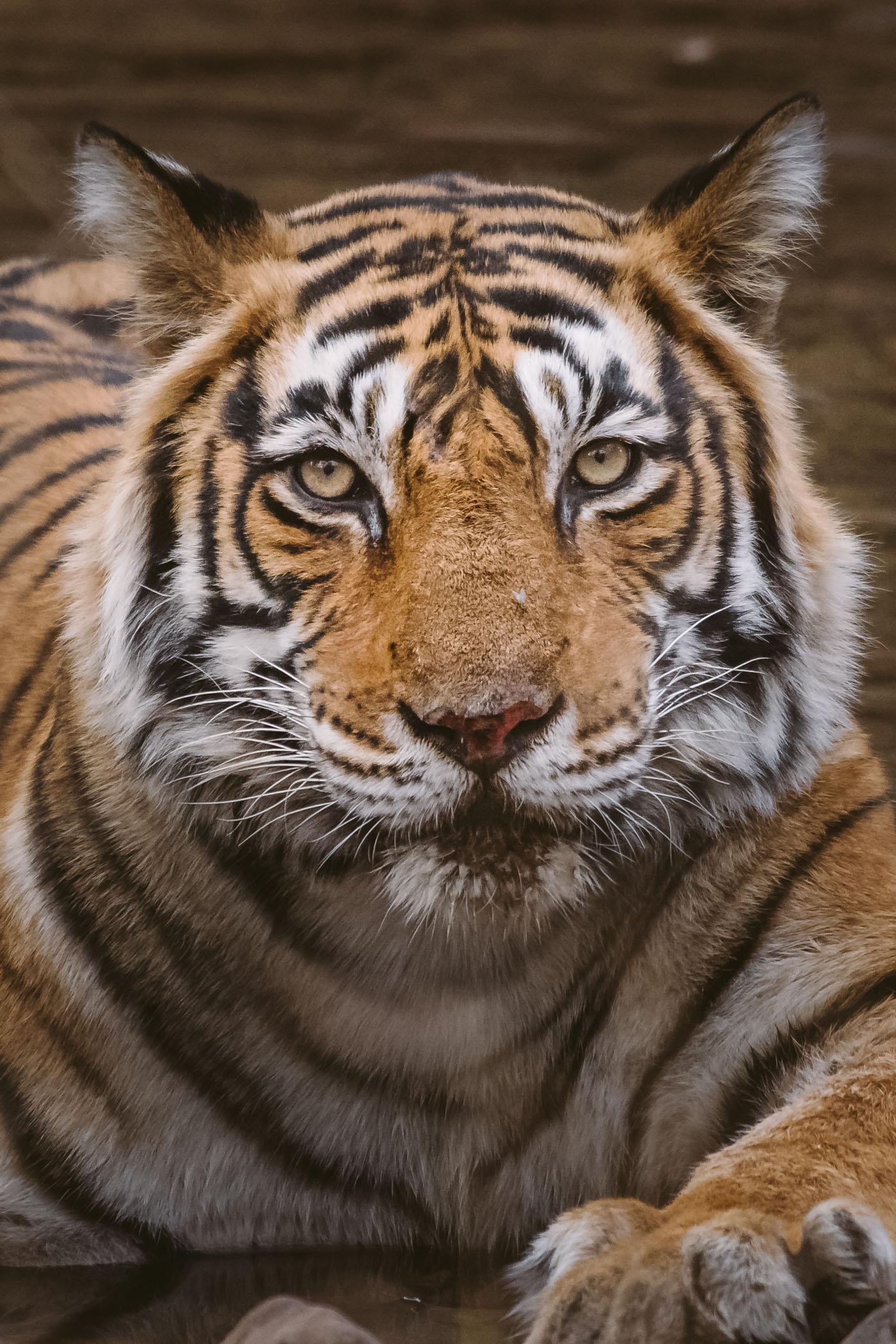 Tiger Safari in Rajasthan