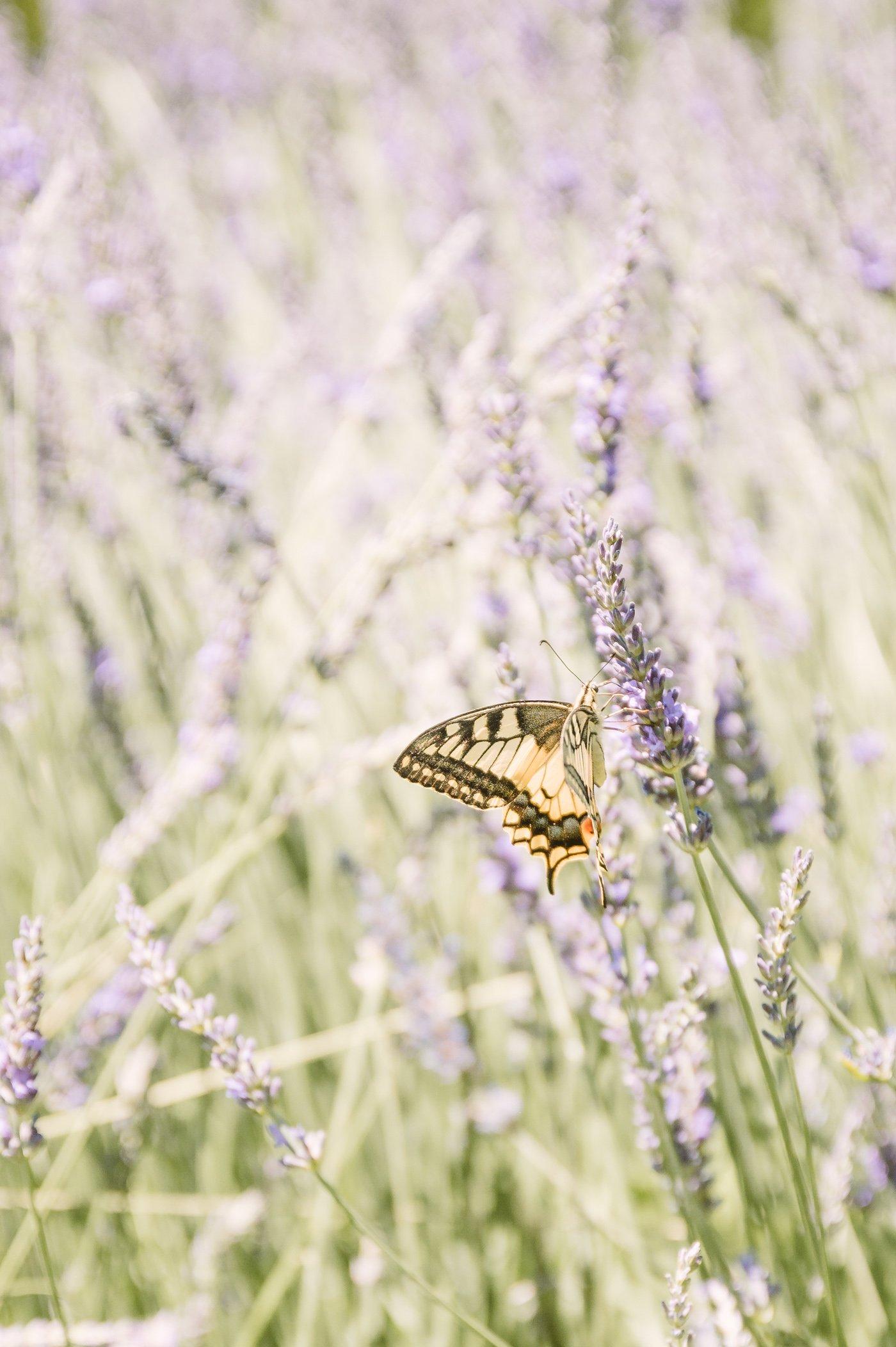 Lavender harvest at Lavender manufacturer Wunsum in Southern Styria