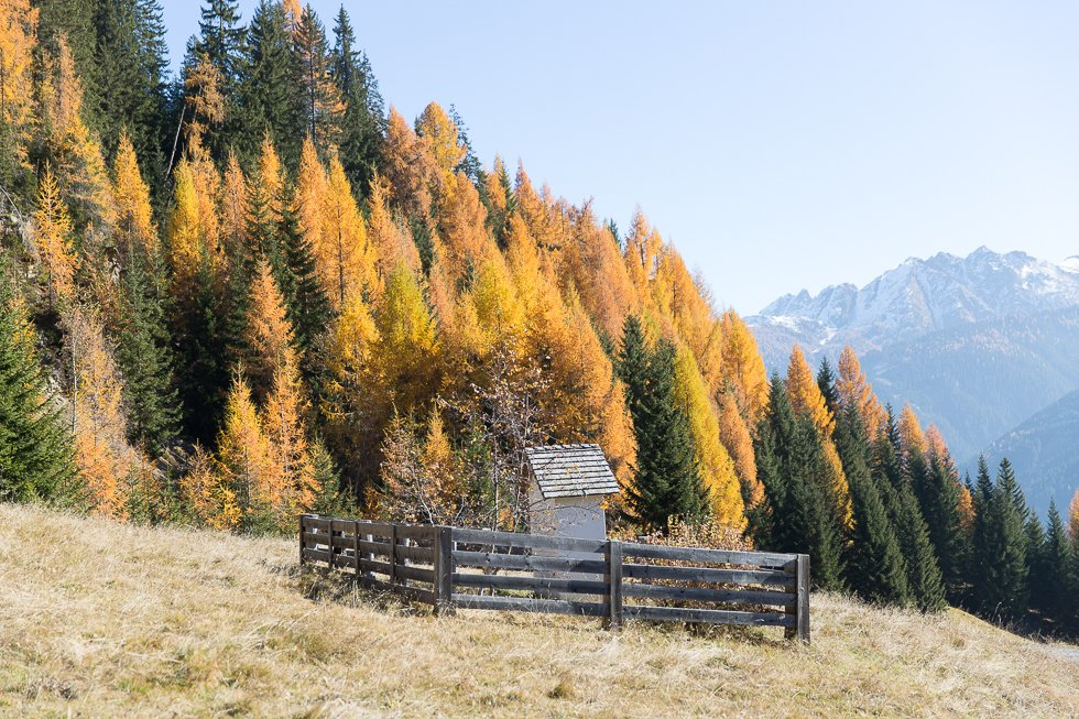 Larch trees in Autumn