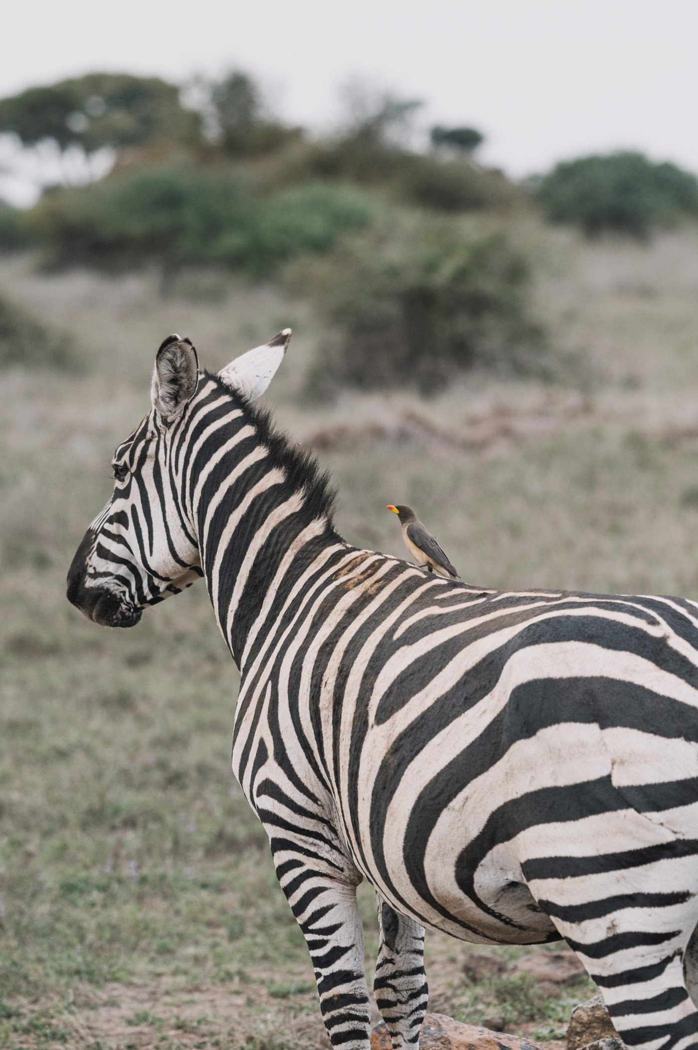 Zebra and Oxpecker at Nairobi National Park Kenya