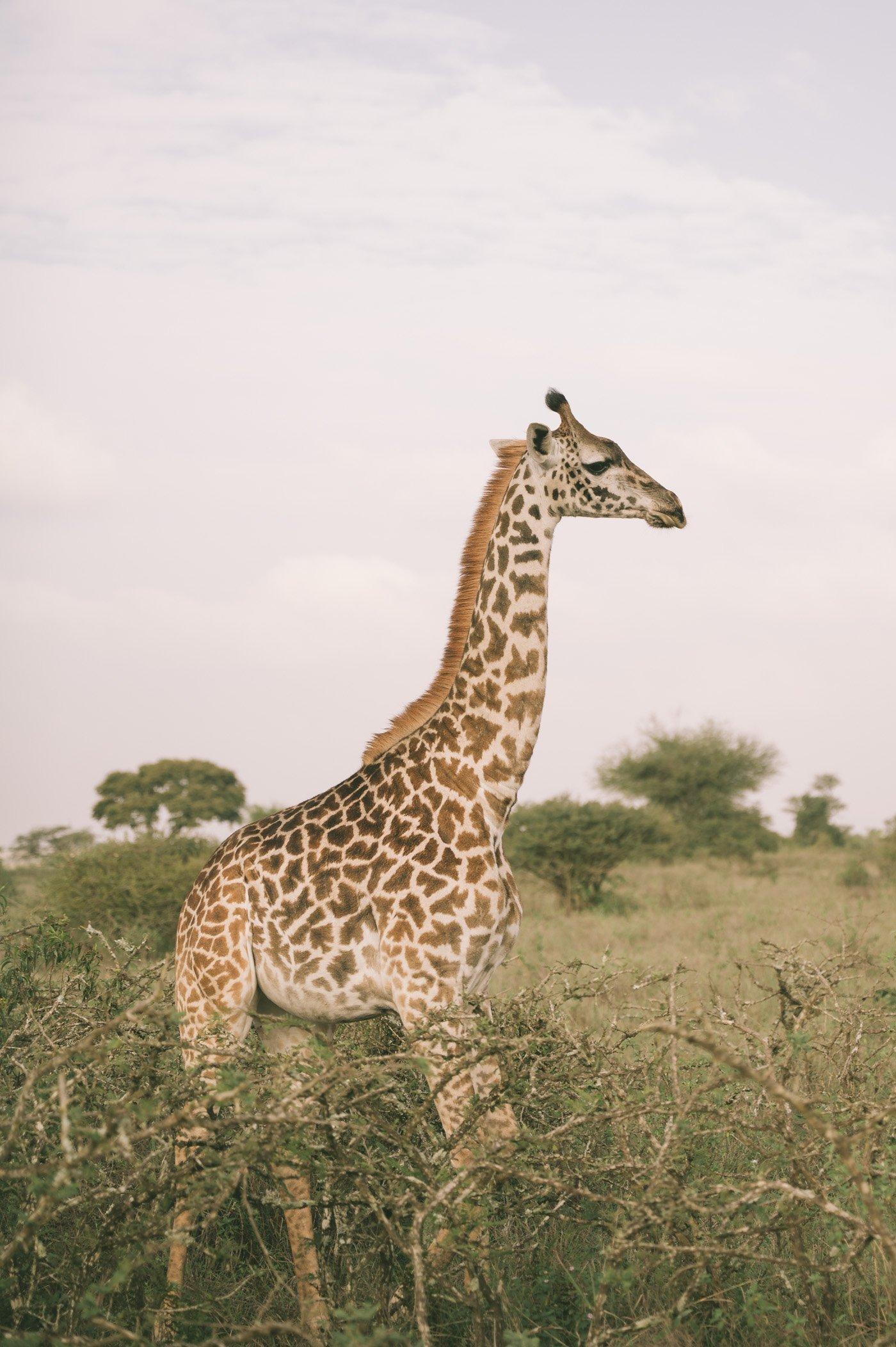 Giraffe at Nairobi National Park Kenya
