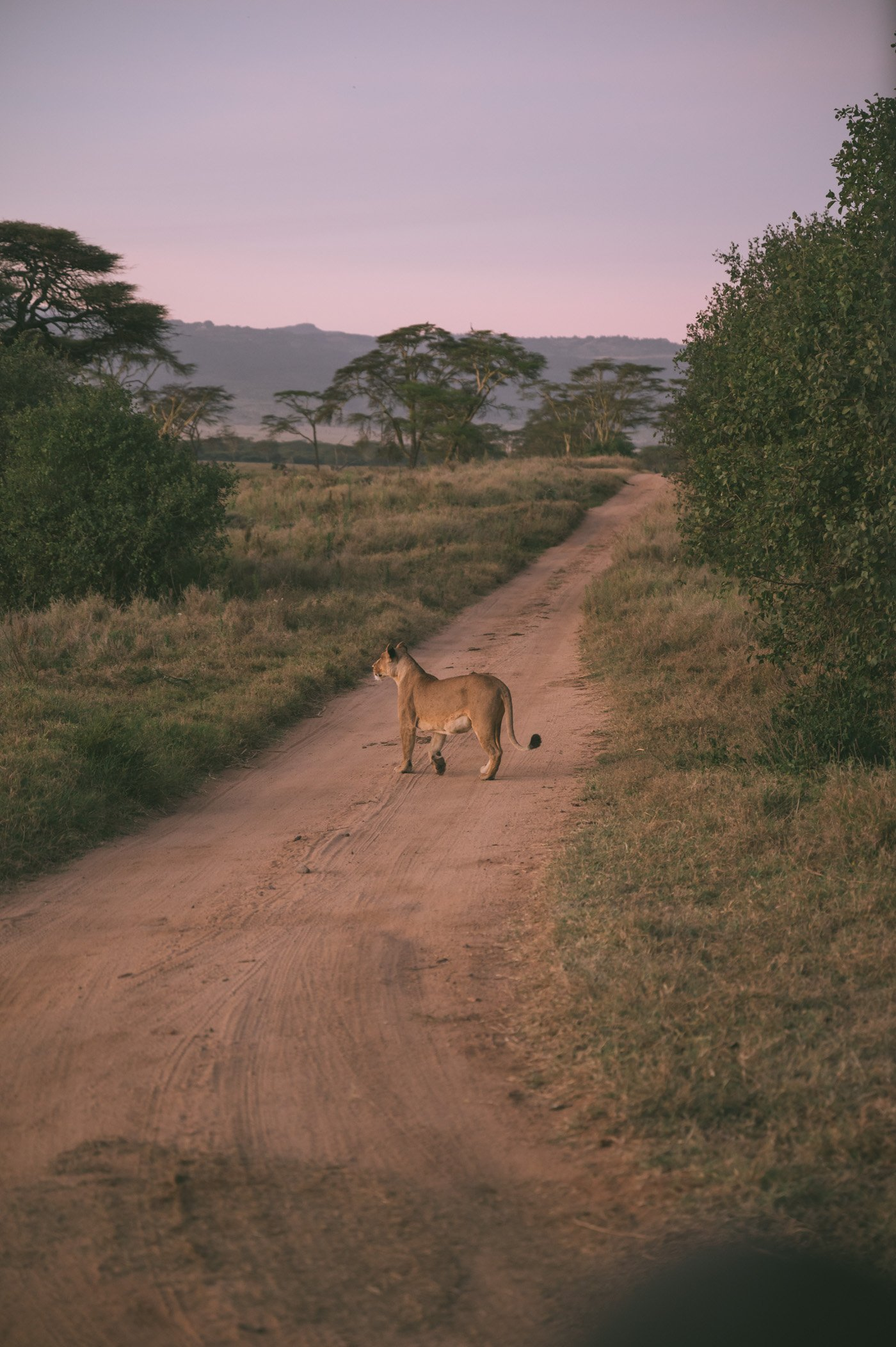 Lioness crossing the street shortly before sunrise at Lewa Wildlife Conservancy Kenya