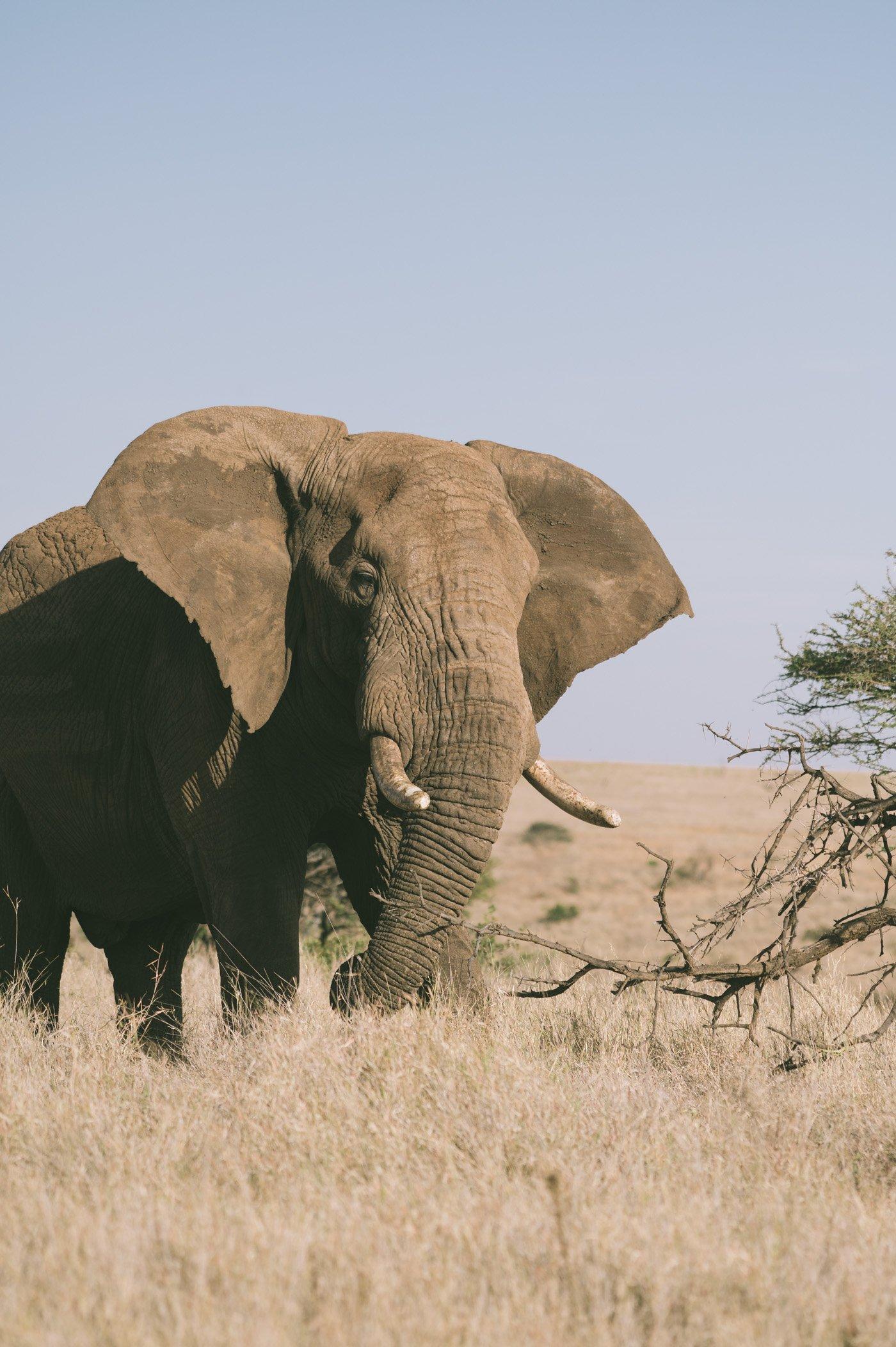 Elephant at Lewa Conservancy Kenya