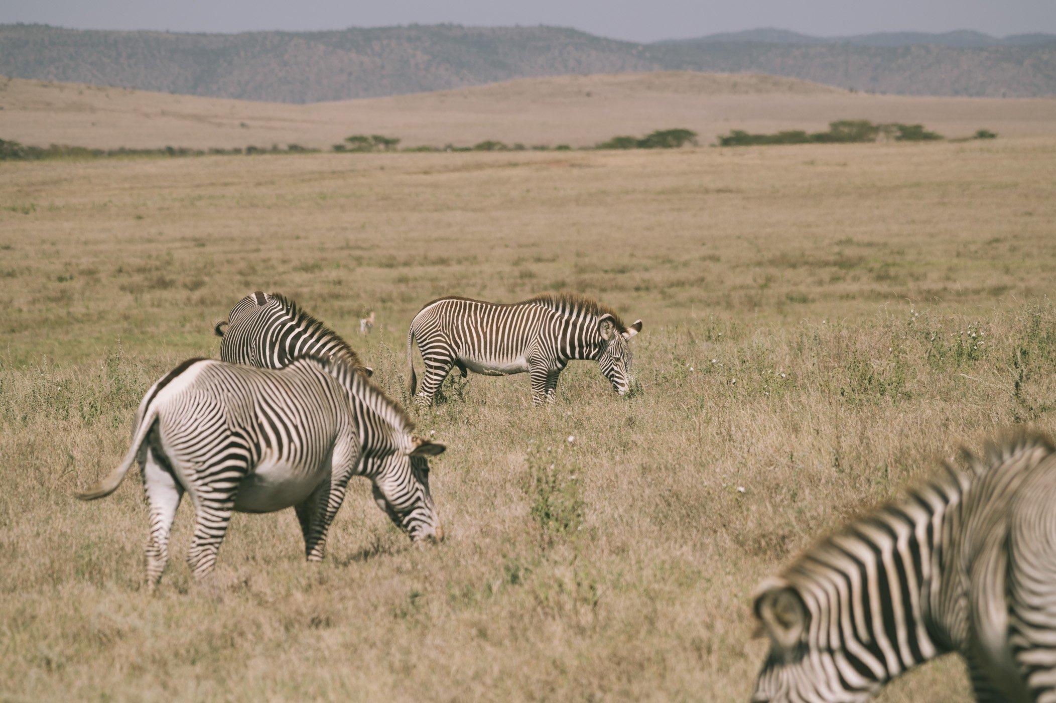 Grevy's Zebras at Lewa Wildlife Conservancy Kenya