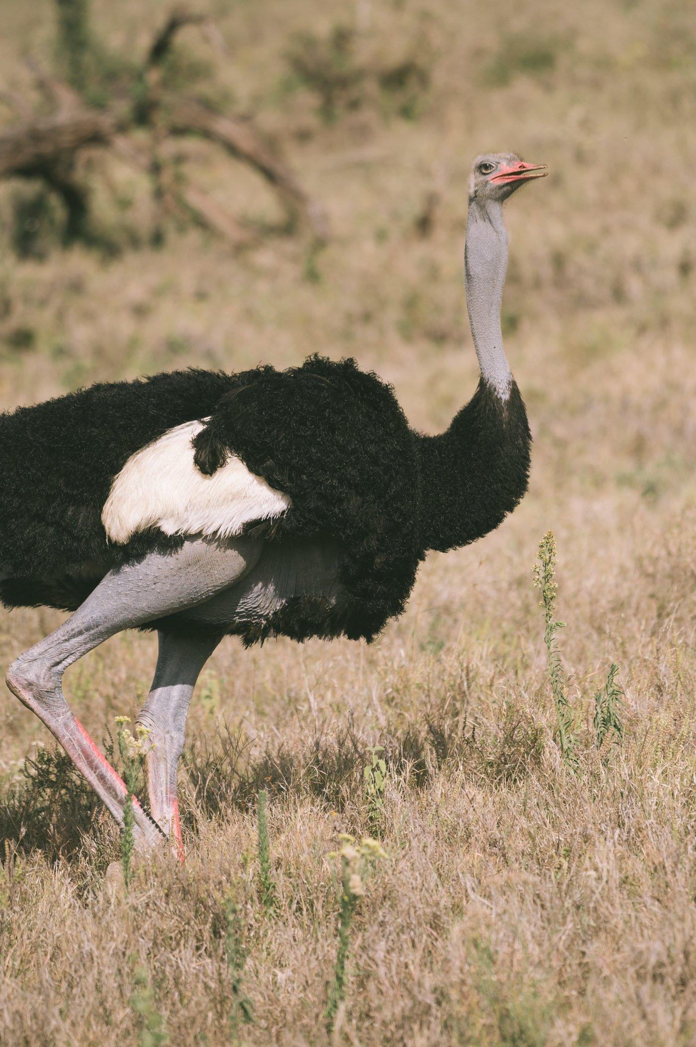 Ostrich at Lewa Wildlife Conservancy Kenya
