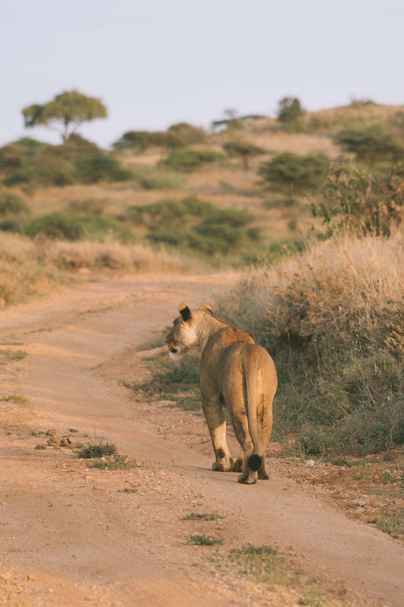 Lioness at Lewa Conservancy Kenya
