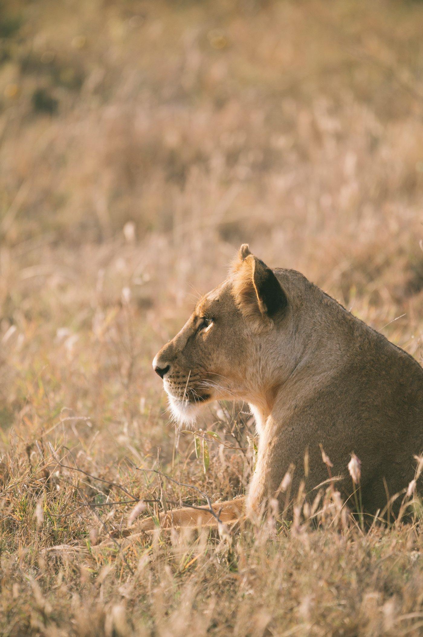 Lioness at Lewa Wildlife Conservancy Kenya
