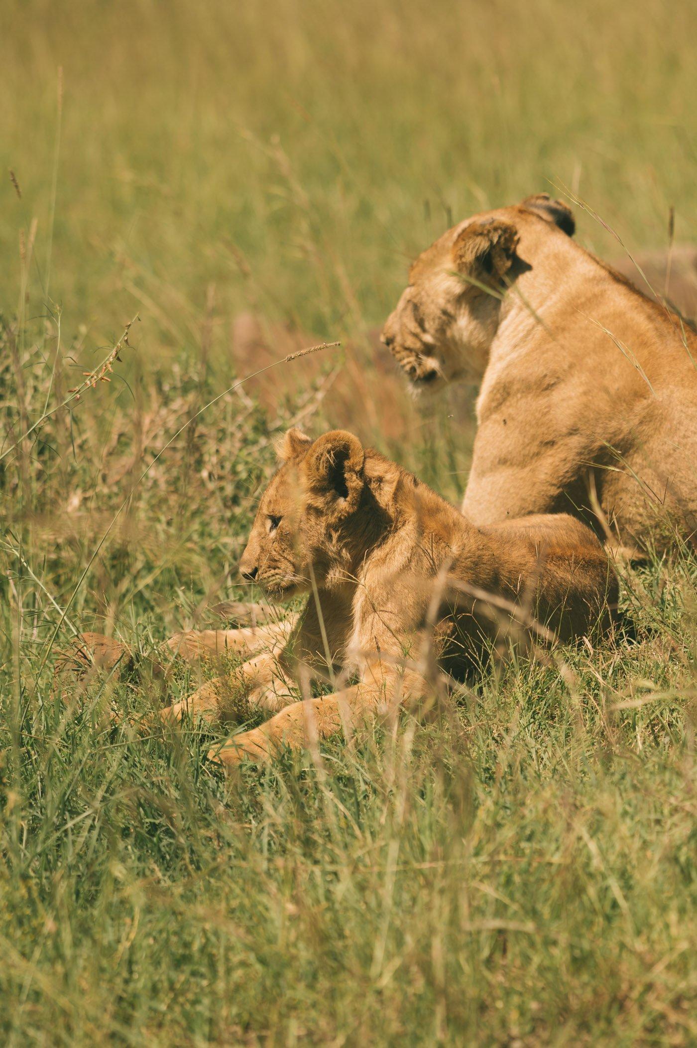 Lions in the Maasai Mara in Kenya