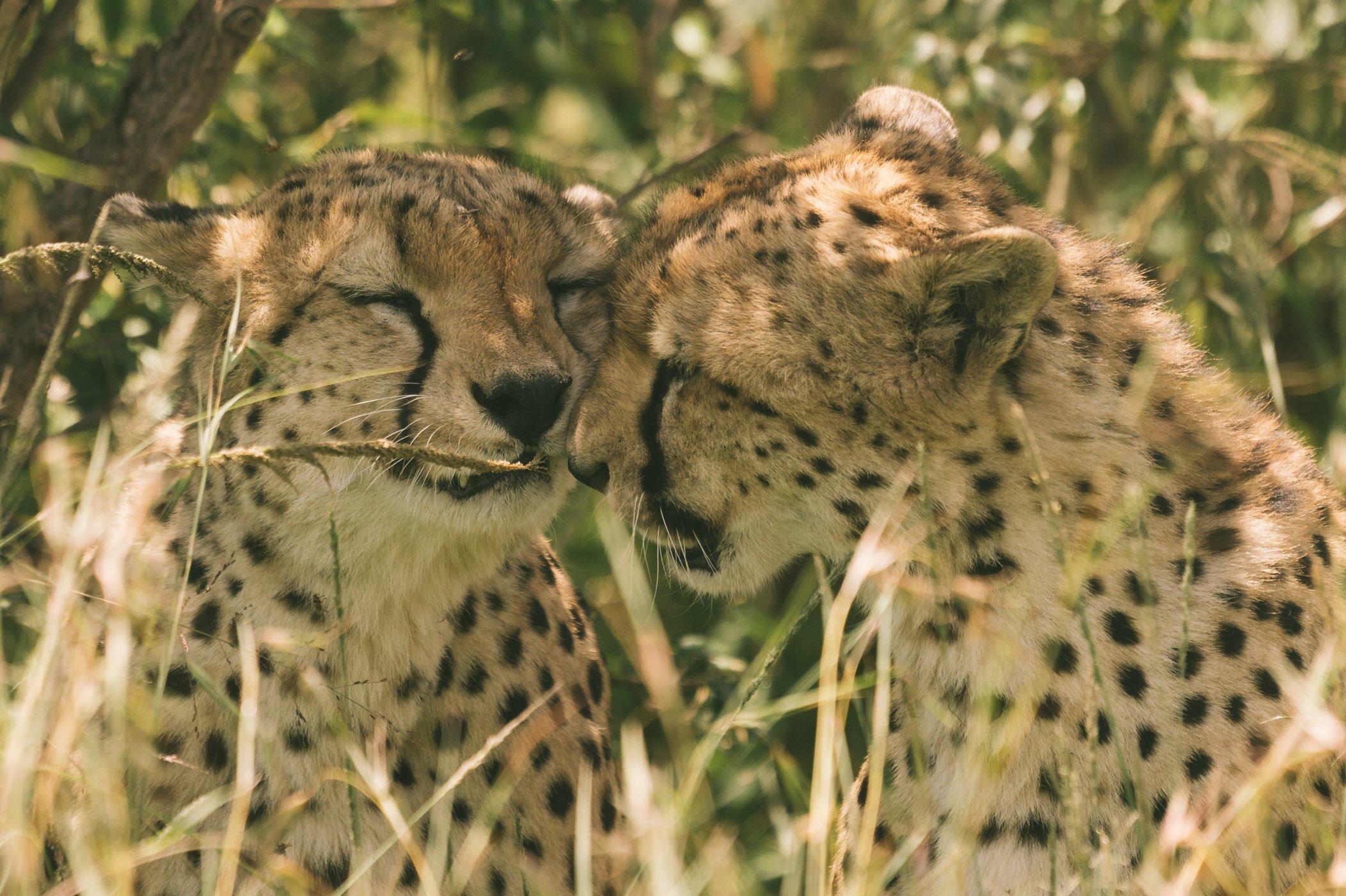 Cheetah Brothers in the Maasai Mara in Kenya