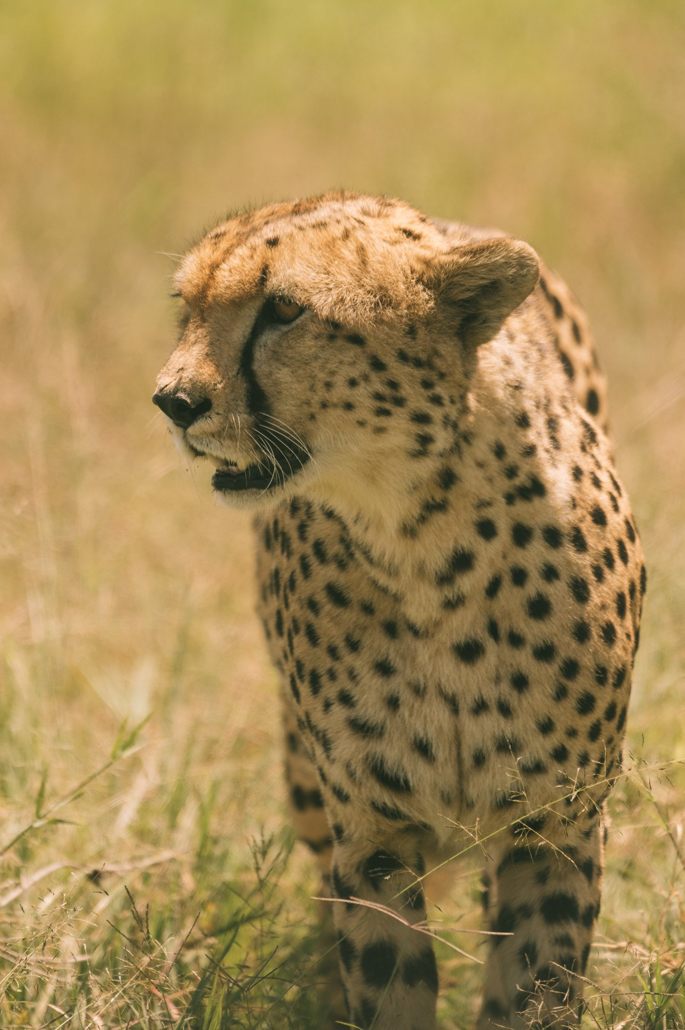 One of the males of the Coalition of five cheetah brothers in the Maasai Mara Kenya