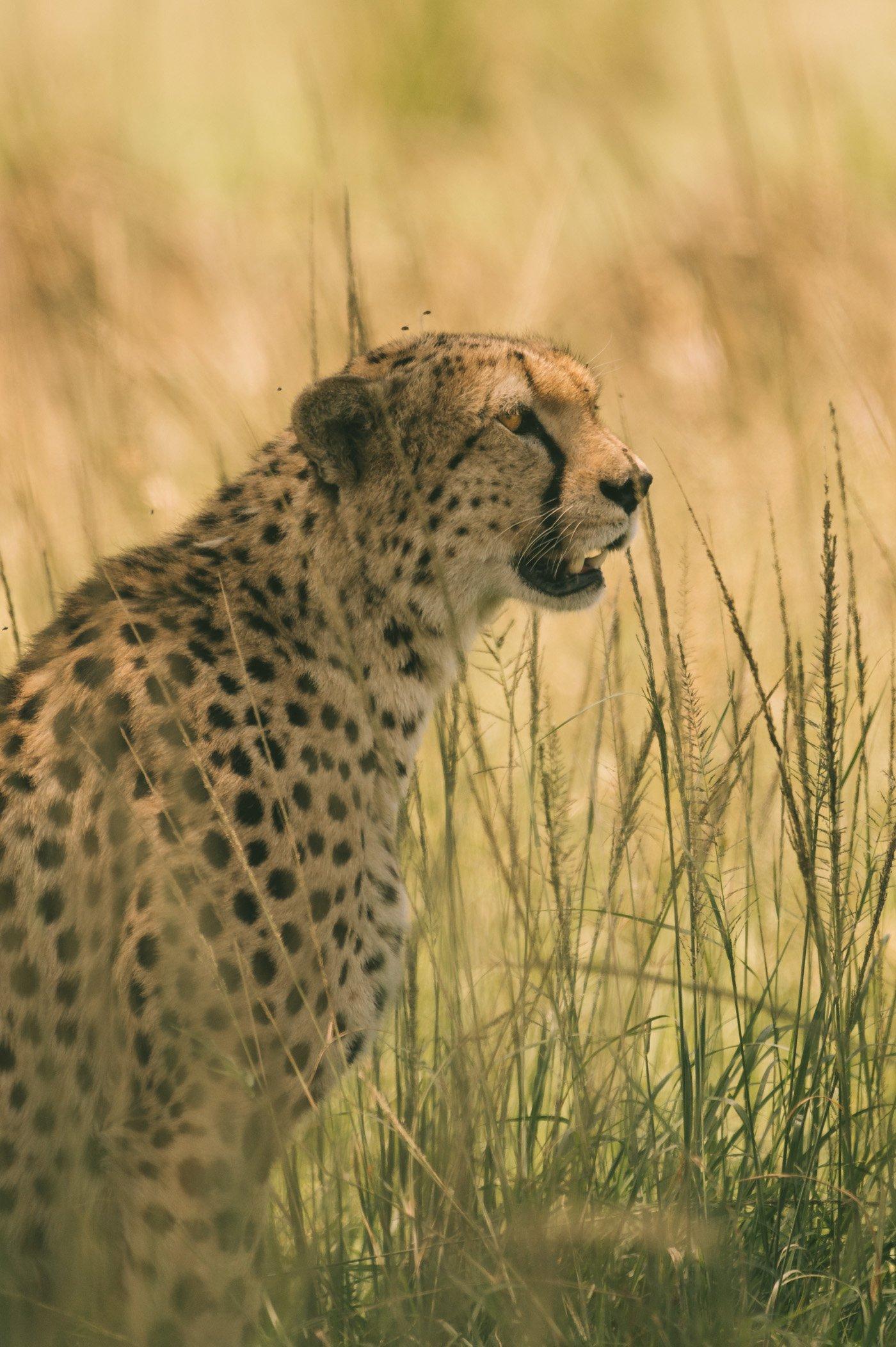 Cheetah in the Maasai Mara Kenya