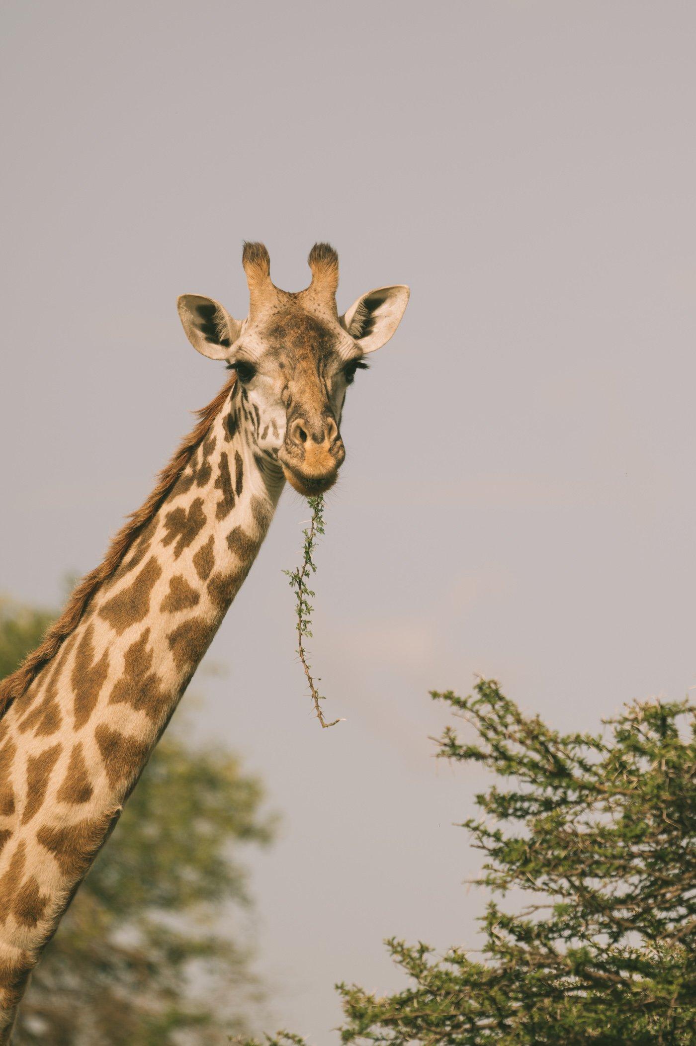 Giraffe at Cottar's in Kenya