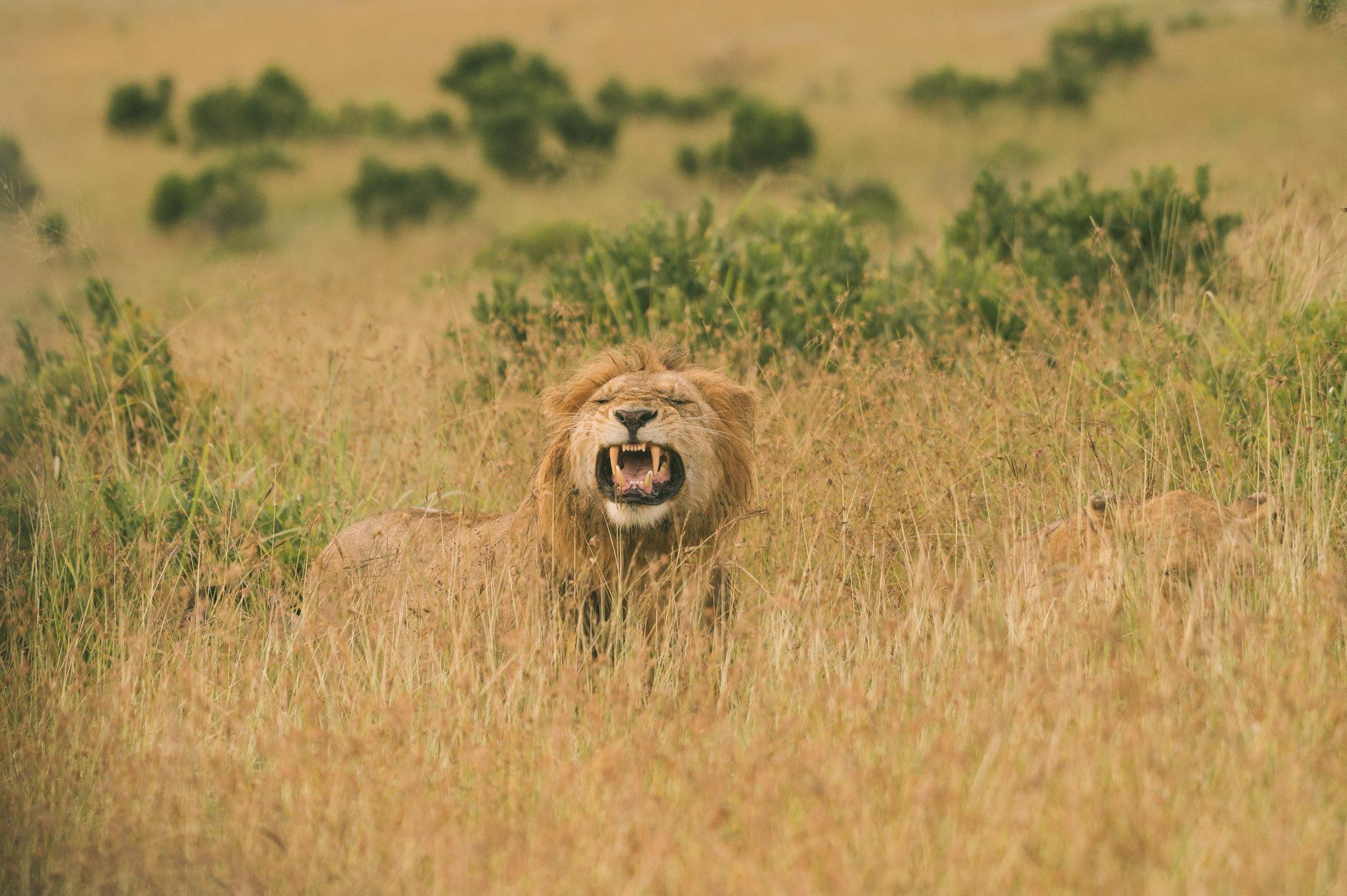 Mating lions in the Maasai Mara in Kenya