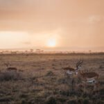 Impalas gather at sunset in Nairobi National Park in Kenya