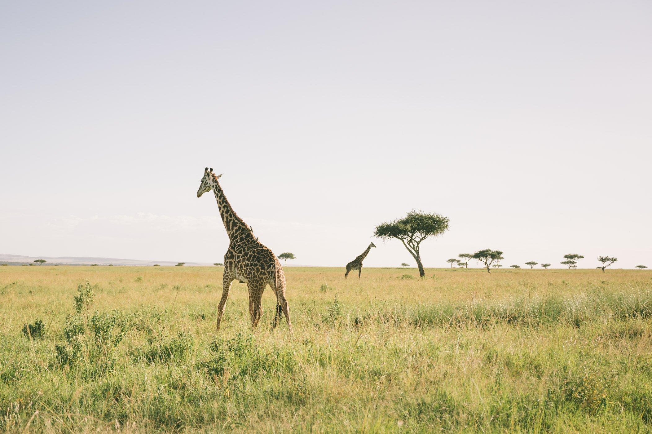 Giraffes in the Maasai Mara in Kenya