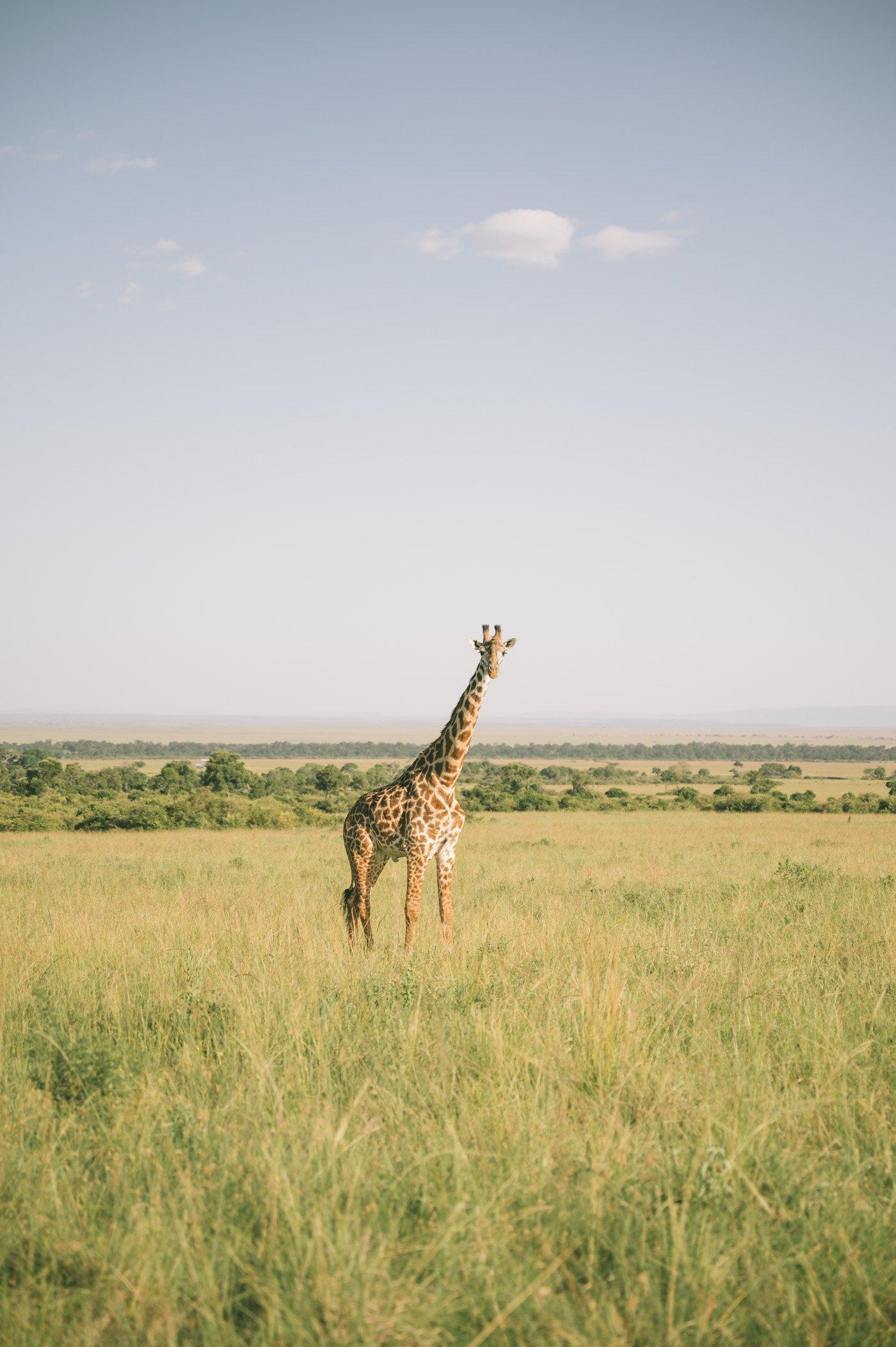 Giraffe in the Mara Triangle in Kenya