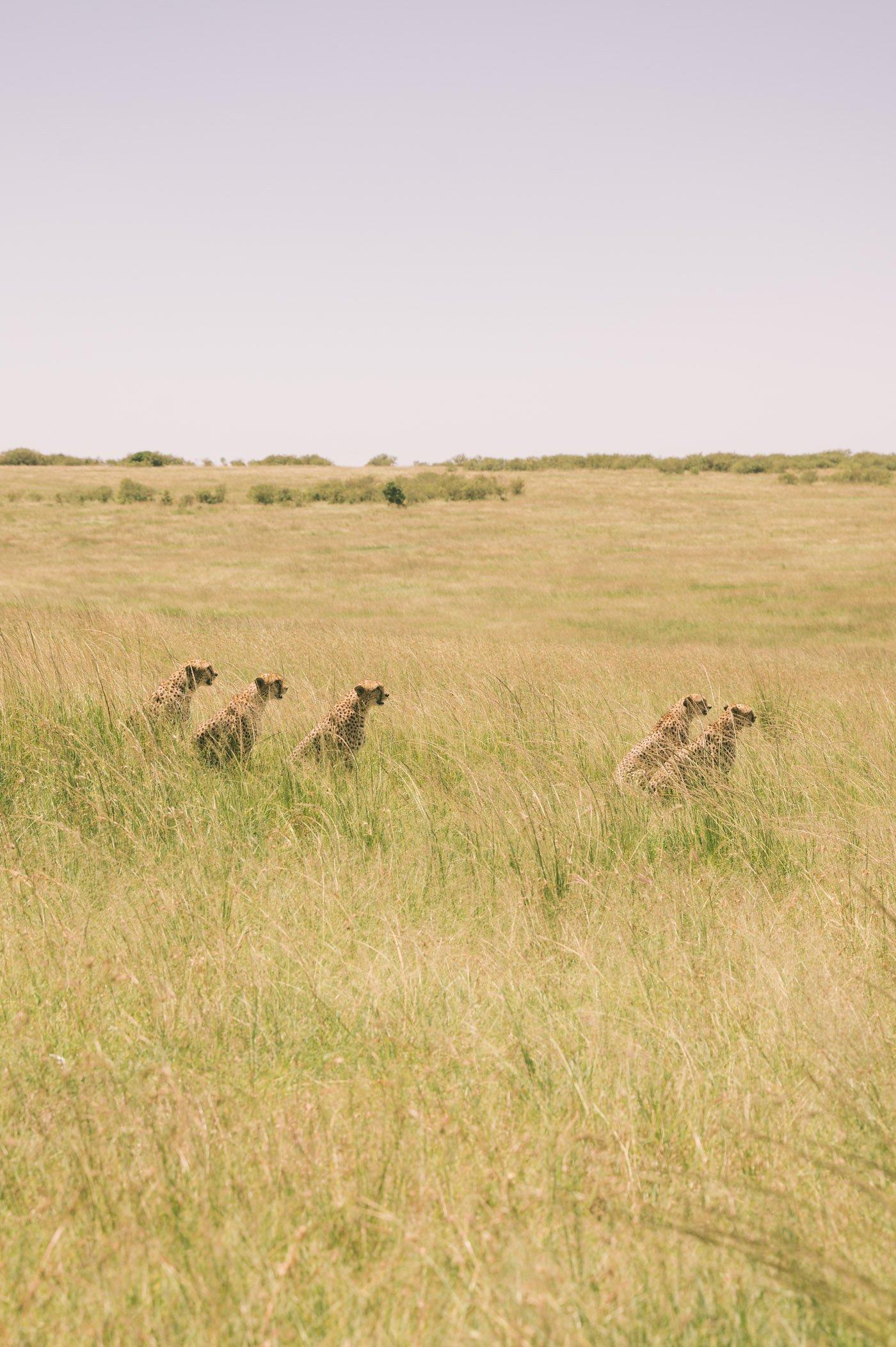 Coalition of five cheetah brothers in the Maasai Mara Kenya