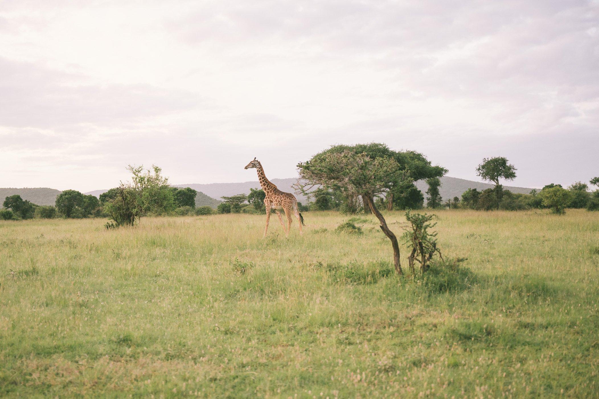 A giraffe in the Olderkesi Community Conservancy in Kenya