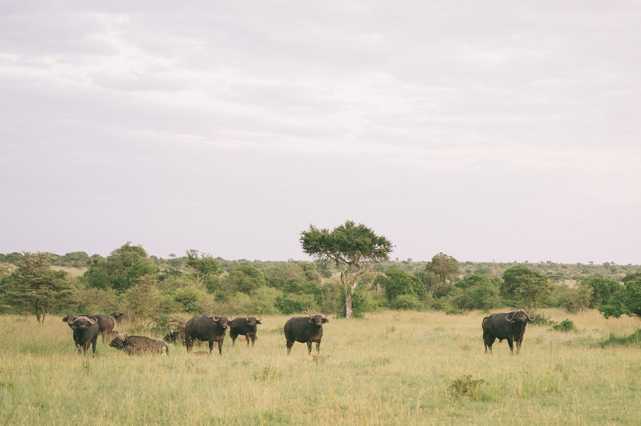 Buffalos at Cottar's in Kenya