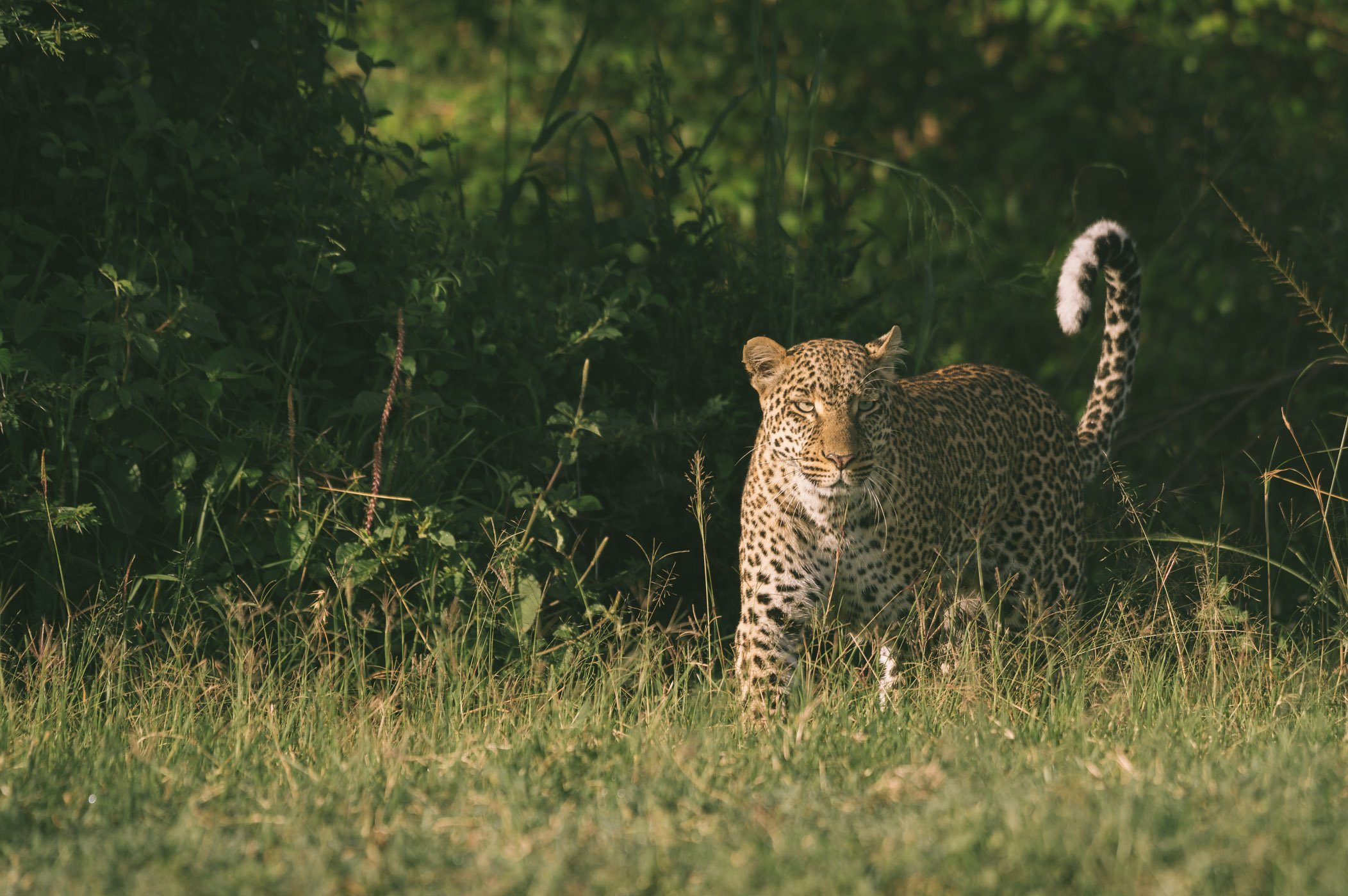 Leopard in the Maasai Mara in Kenya