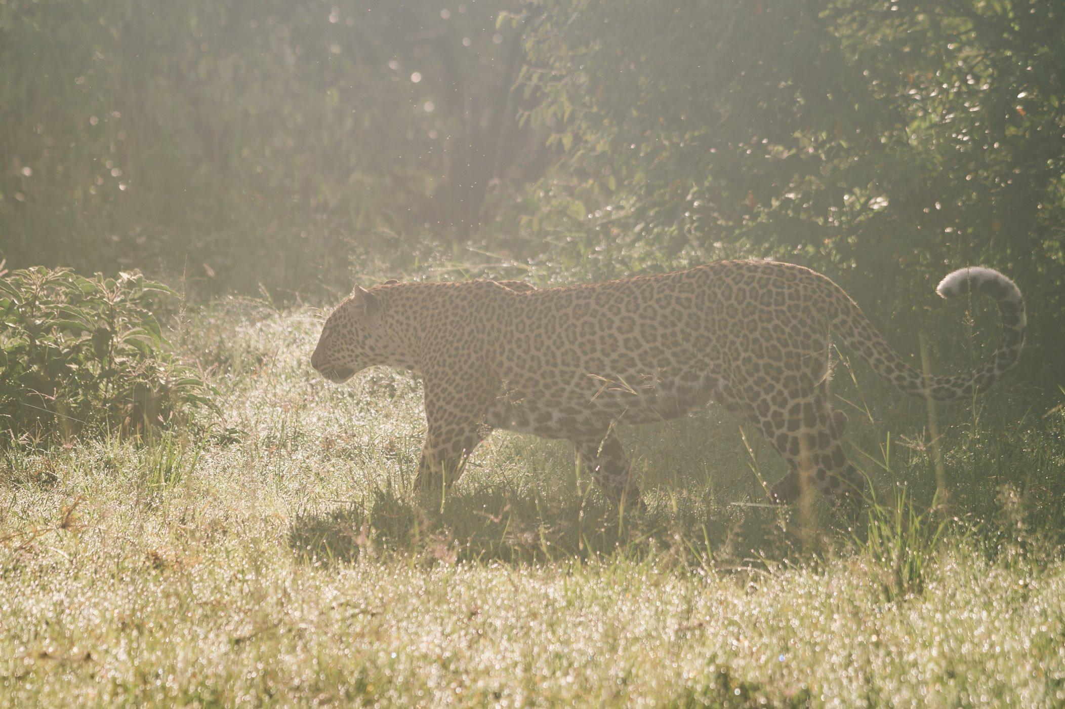 Leopard Bella in the Maasai Mara in Kenya