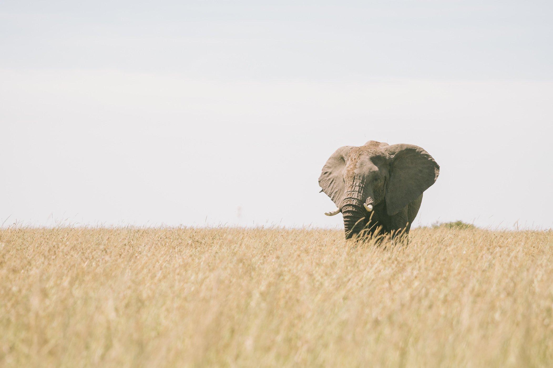 Elephant in the Maasai Mara in January