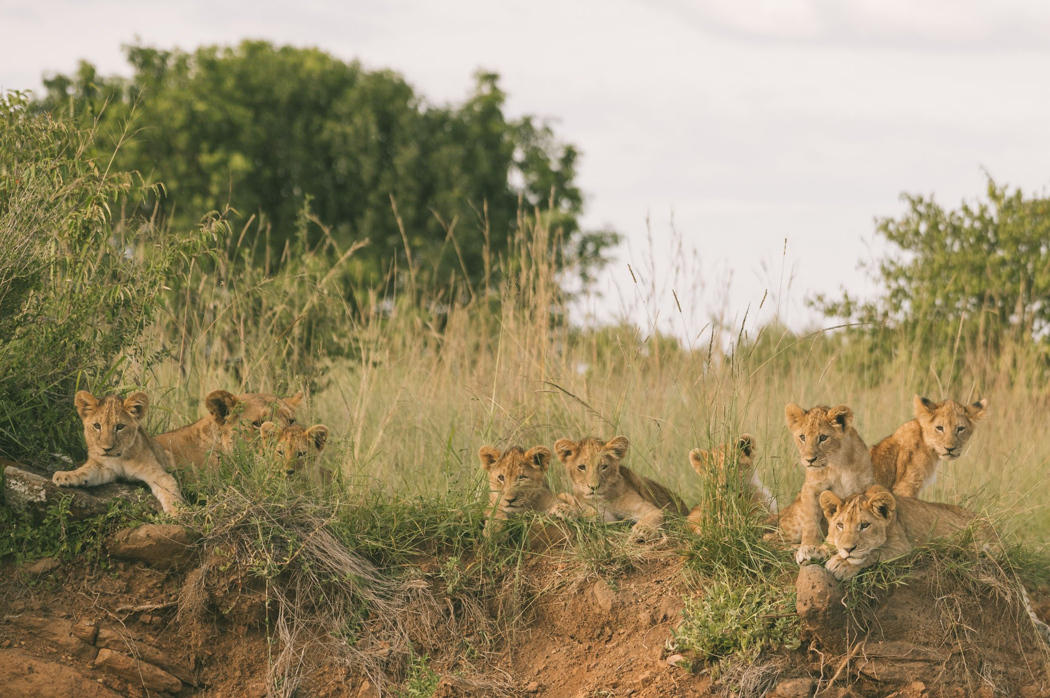 The famous paradise tribe had 9 cubs this year