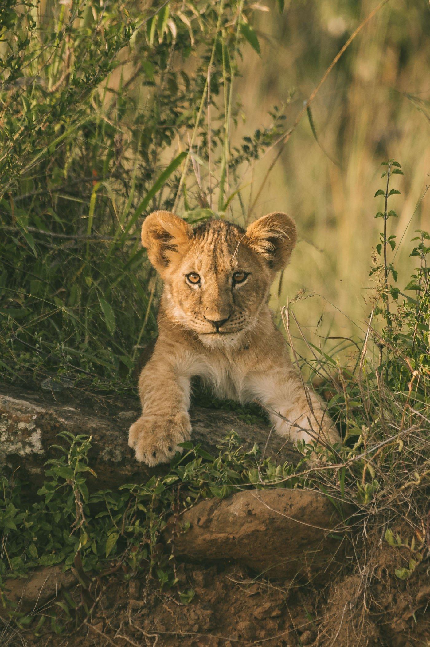 Lion cub in the Maasai Mara