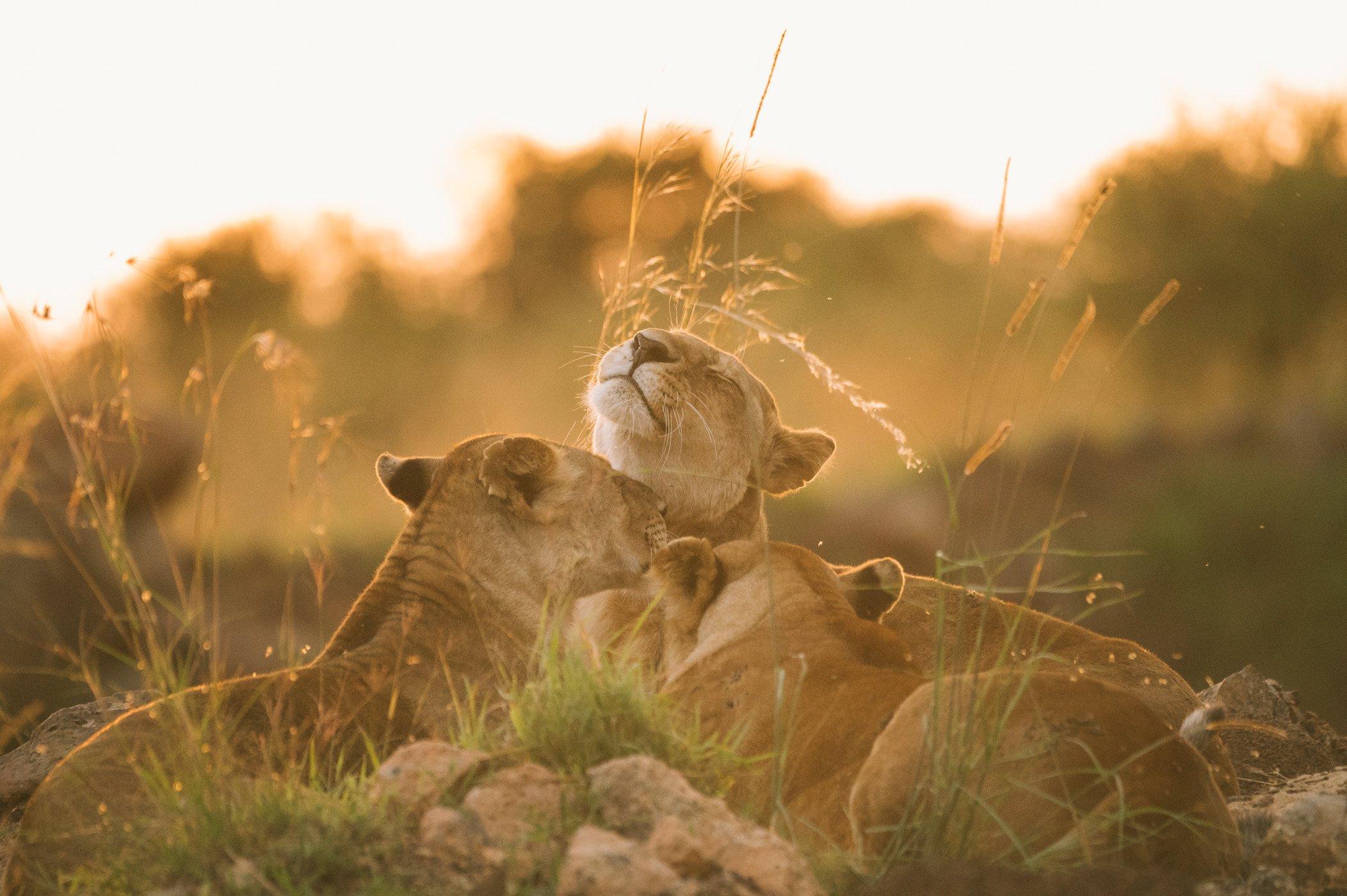 Lion pride in the Maasai Mara in Kenya