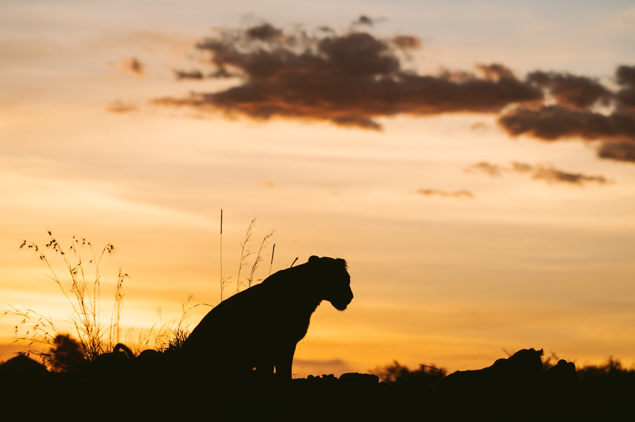 Lioness at sunset in the Maasai Mara in Kenya