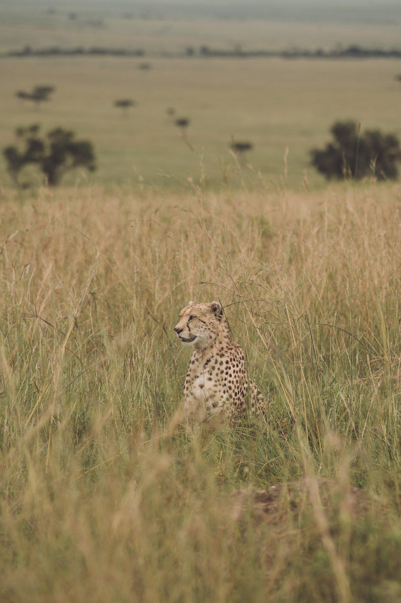 Cheetah at andBeyond Bateleur Camp Maasai Mara Kenya