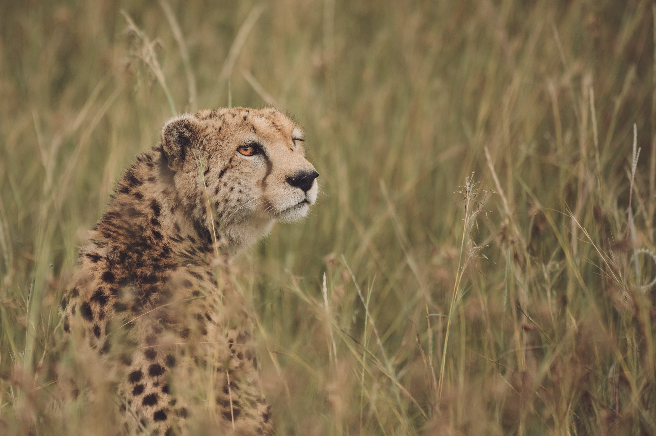 Cheetah in the private concession of andBeyond Bateleur Camp Maasai Mara Kenya