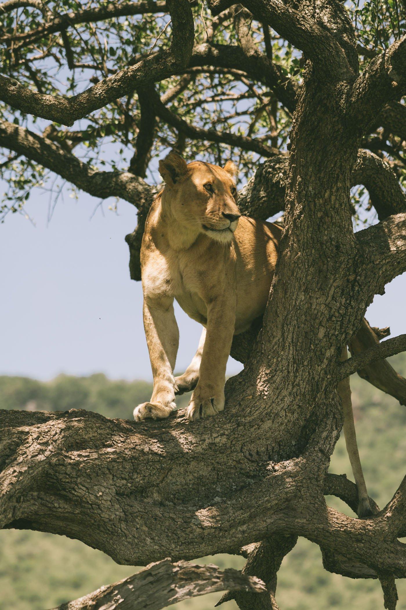 Tree-climbing lions in the Mara Triangle in Kenya