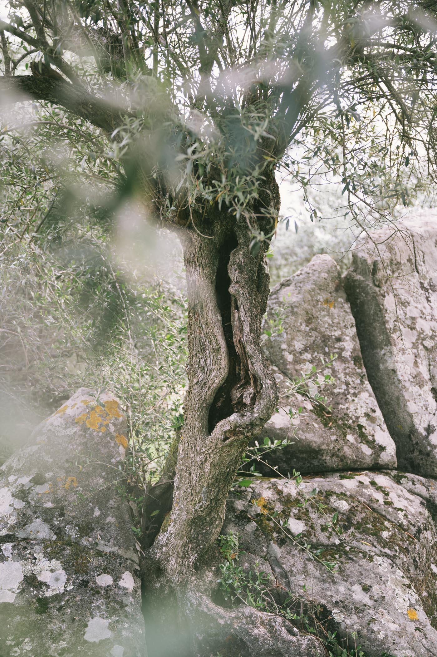 Olive tree at São Lourenço do Barrocal