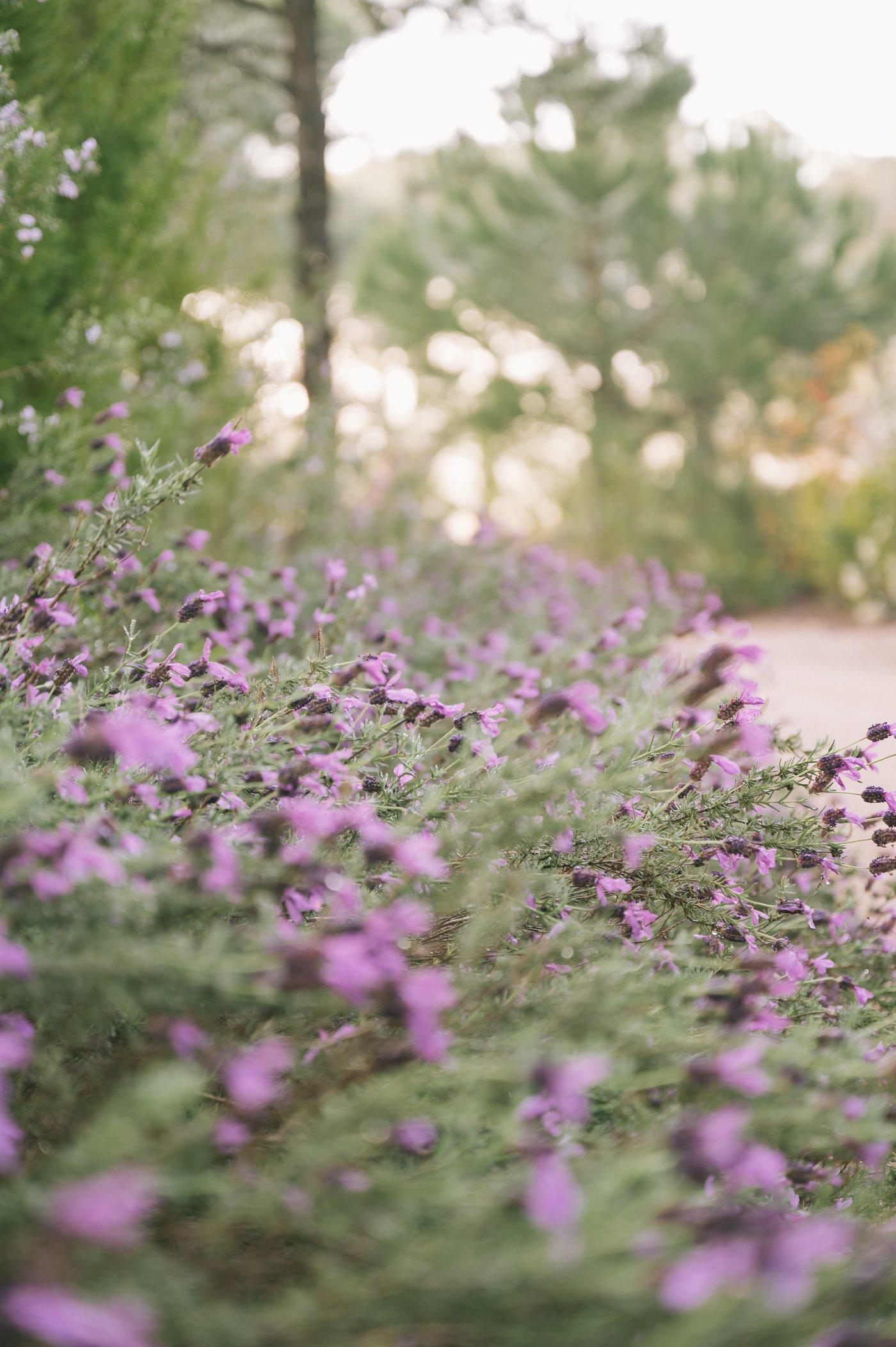 Lavender in bloom in April at Sublime Comporta