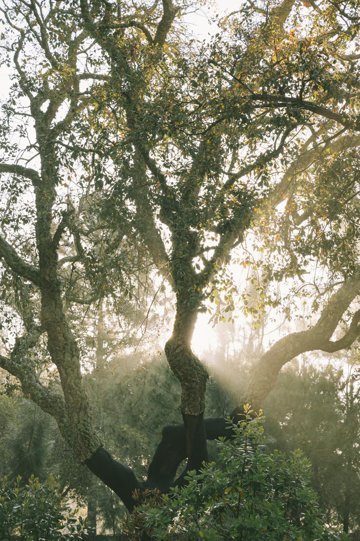 Rays of sun shine through a crooked old tree in the Alentejo region of Portugal